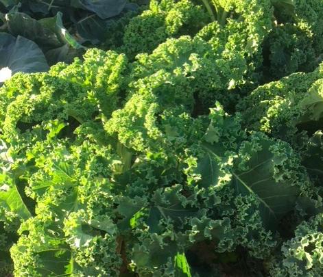 Tout savoir sur le chou kale